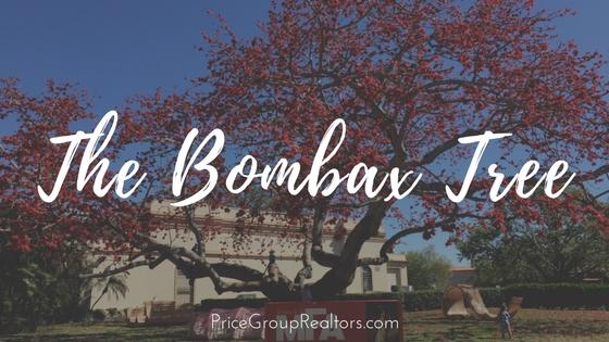 Bombax Tree at St Pete's MFA